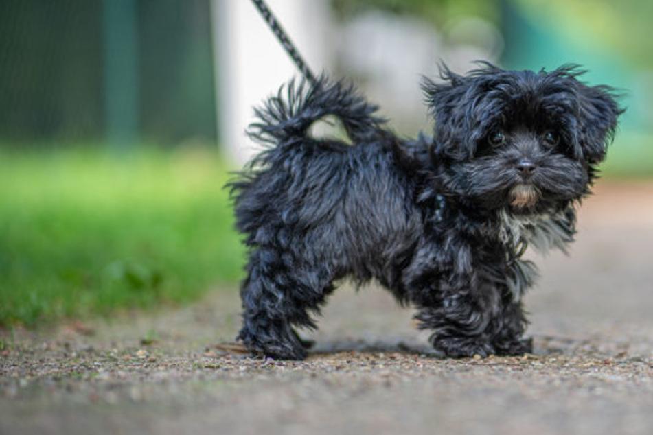 Auto fährt zwei kleine Hunde tot: Besitzerin muss alles mit ansehen