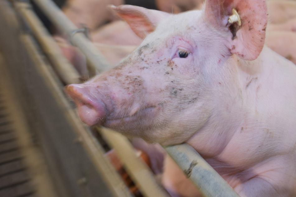 Geschlossener Tönnies-Schlachthof: Landwirte in Sorge wegen Schweinen