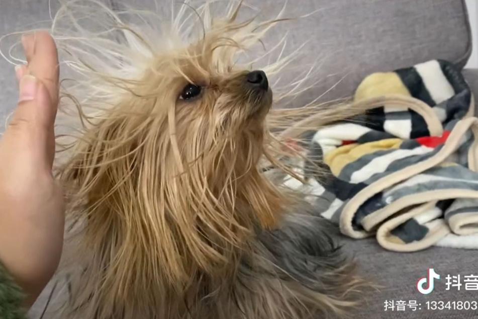 Das Fell der Hunde-Dame wurde elektrostatisch aufgeladen.