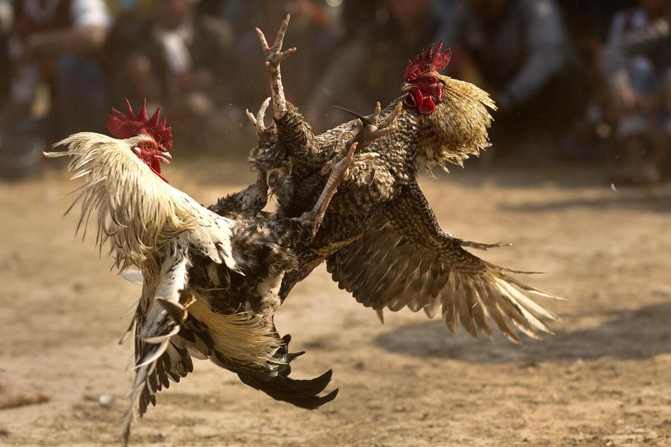 Bei den illegalen Hahnenkämpfen tragen die aggressiven Tiere eine scharfe Klinge an ihren Füßen. (Symbobild)