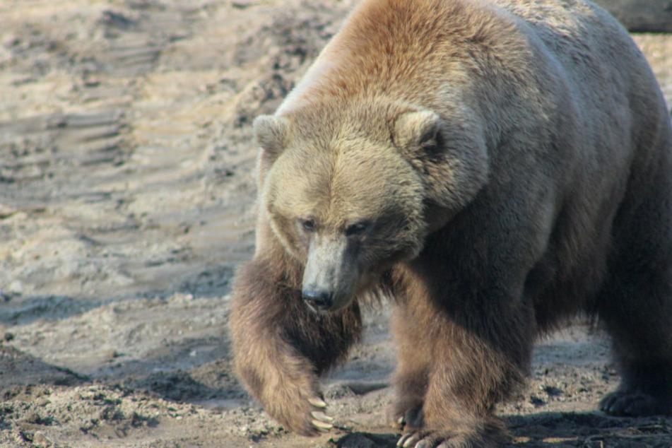 Ein brauner Grizzlybär sucht nach Nahrung. (Symbolbild)