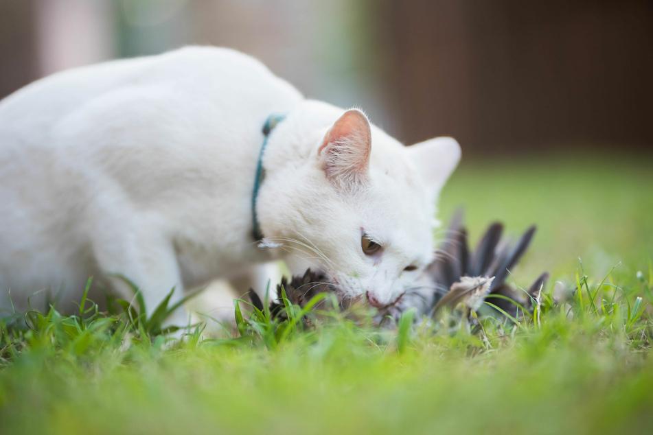 Besonders Jungvögel sind für Katzen leichte Beute.
