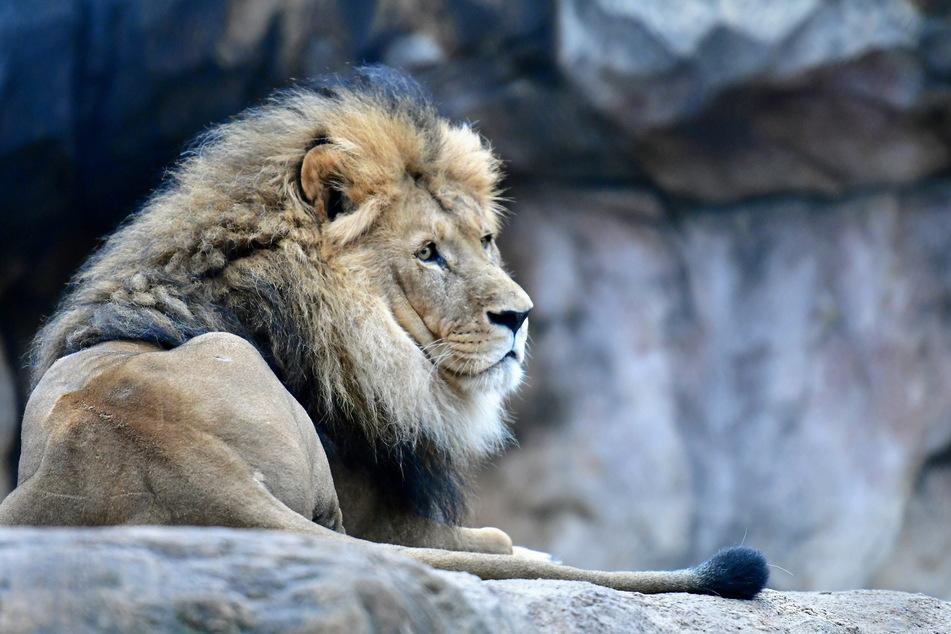 Auch der Löwe schaut optimistisch in die Zukunft.