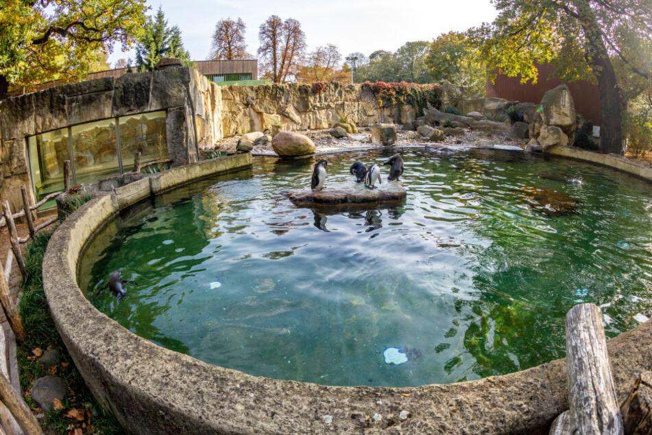Dresden: Stein-Attacke auf Pinguine im Zoo: Wie fies ist das denn?