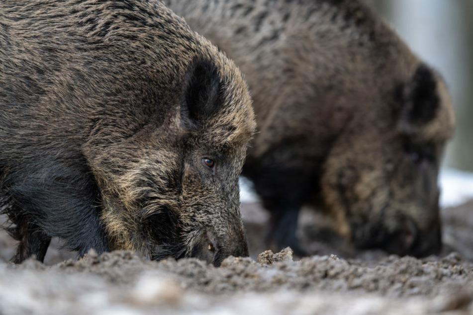 Zwei Wildschweine wühlen bei der Futtersuche mit der Schnauze im Erdboden. Nach der Bestätigung des Verdachtsfalles, fordert der Deutsche Jagdverband ein schnelles Handeln. (Symbolfoto)