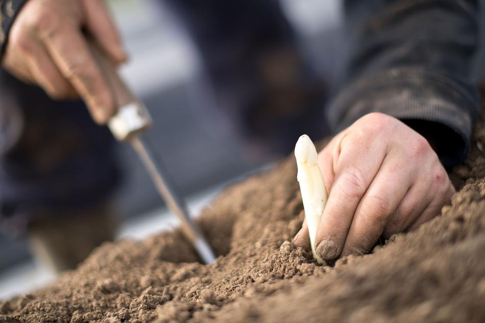 Ein Feldarbeiter beim Spargelstechen.