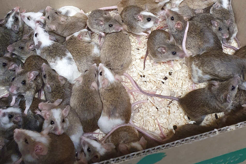 35 Mäuse und vier Ratten fand eine Frau in einem Karton auf einem Parkplatz neben einem Altglascontainer.