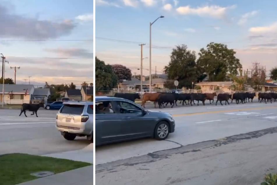 40 Rinder machten die Nachbarschaft unsicher, mehrere Anwohner packten ihre Kameras aus.