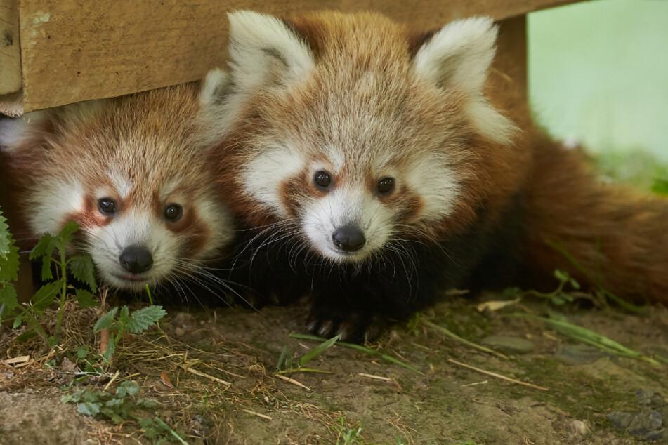 Rheinland-Pfalz: Die beiden im Juni 2019 geborenen Katzenbären-Zwillinge erkunden erstmals ihr Freigehege. Die hoch bedrohte Tierart zählt zu den Attraktionen des Zoos Neuwied.