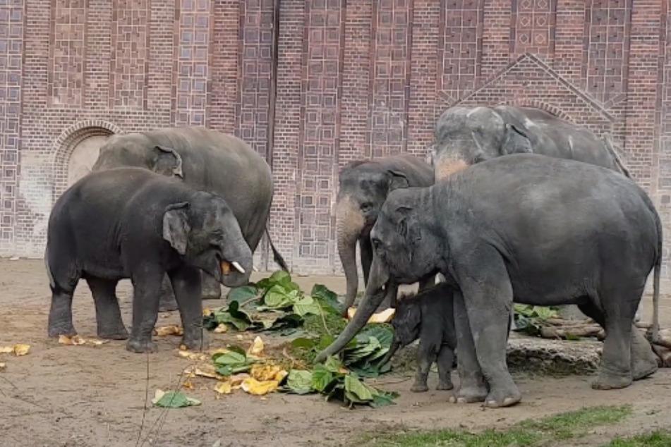 Die Elefanten-Herde im Zoo Leipzig wächst immer mehr zusammen - so wird sich auch der Riesenkürbis geteilt.