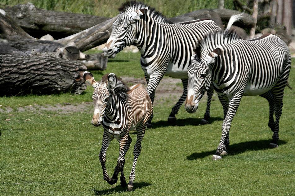 Die Leipziger Zebras galoppieren über die Kiwara-Savanne.
