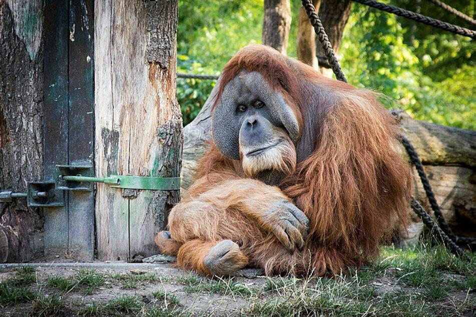 Im Leipziger Zoo warten unter anderem Orang-Utans auf die Besucher.