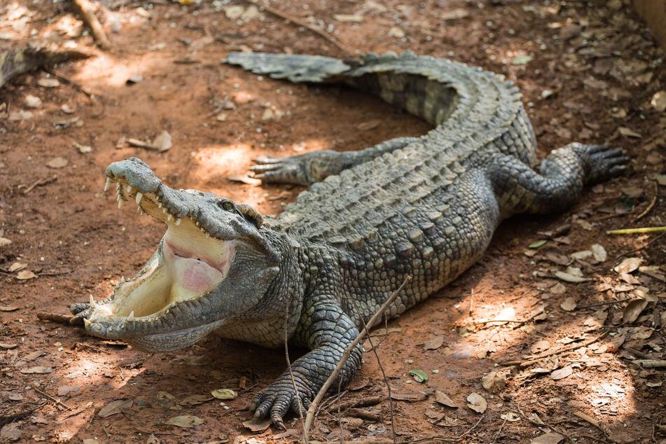 Ein Krokodil ernährt sich zwar hauptsächlich von Fisch, ist aber auch nicht abgeneigt, sobald sich ein Säugetier seinem Territorium nähert. (Symbolbild)