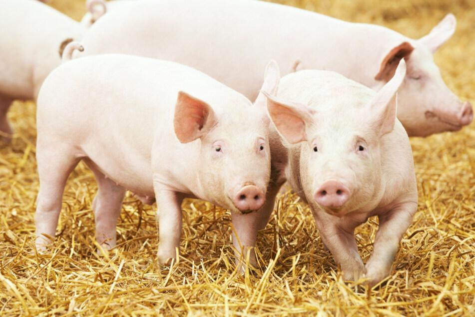 Schwein ist out: Fleischproduktion in Bayern sinkt um über 16.000 Tonnen