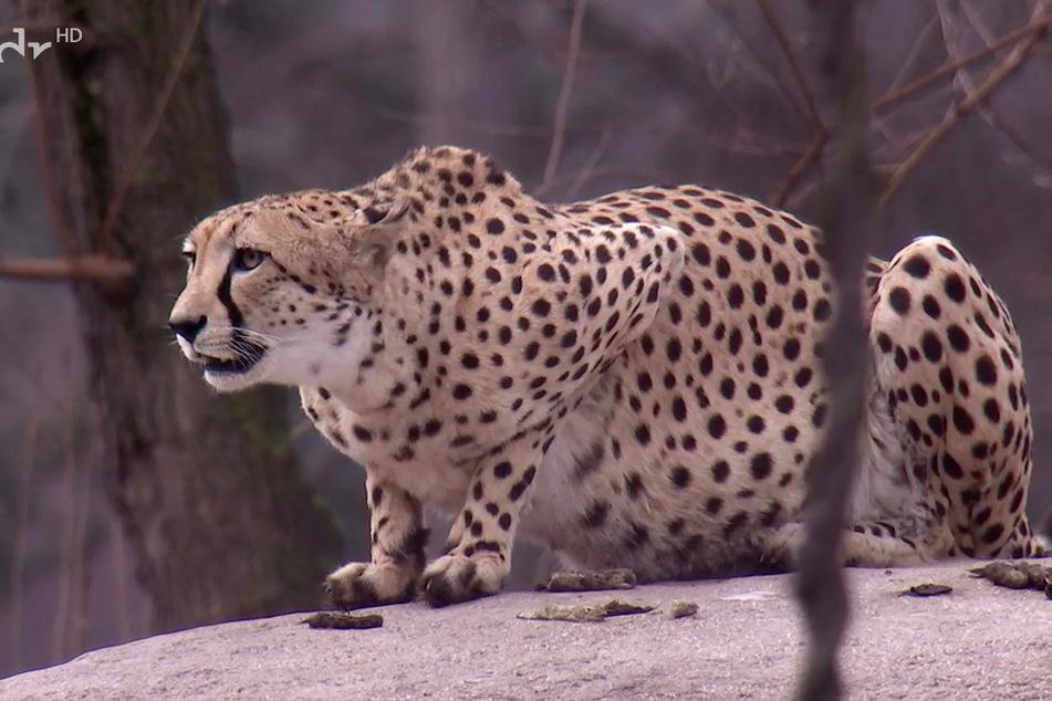 Die Geparden wollten doch nur den Neuankömmling aus der Ferne begutachten.