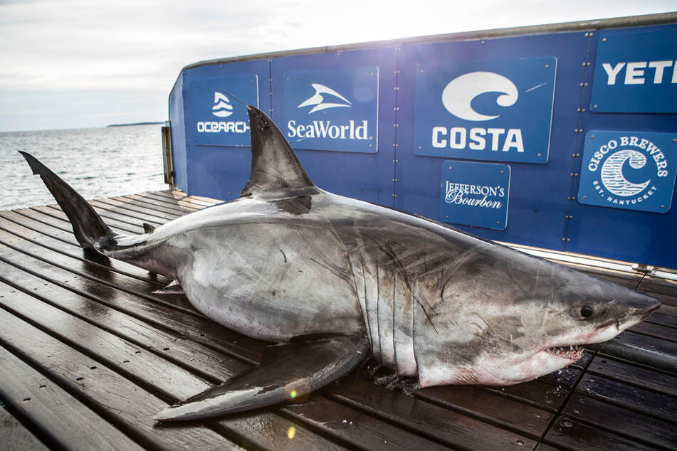 "Nukimi or ""Queen of the Ocean"" is the largest shark the Ocearch researchers have sampled on their mission."