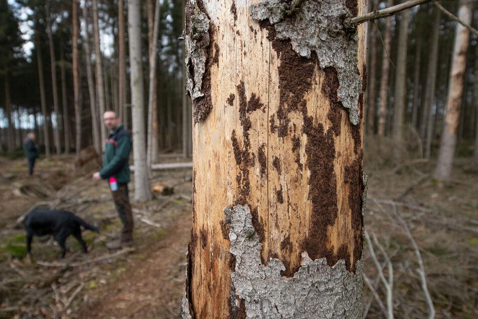 Rinde an einem beschädigten Baum.