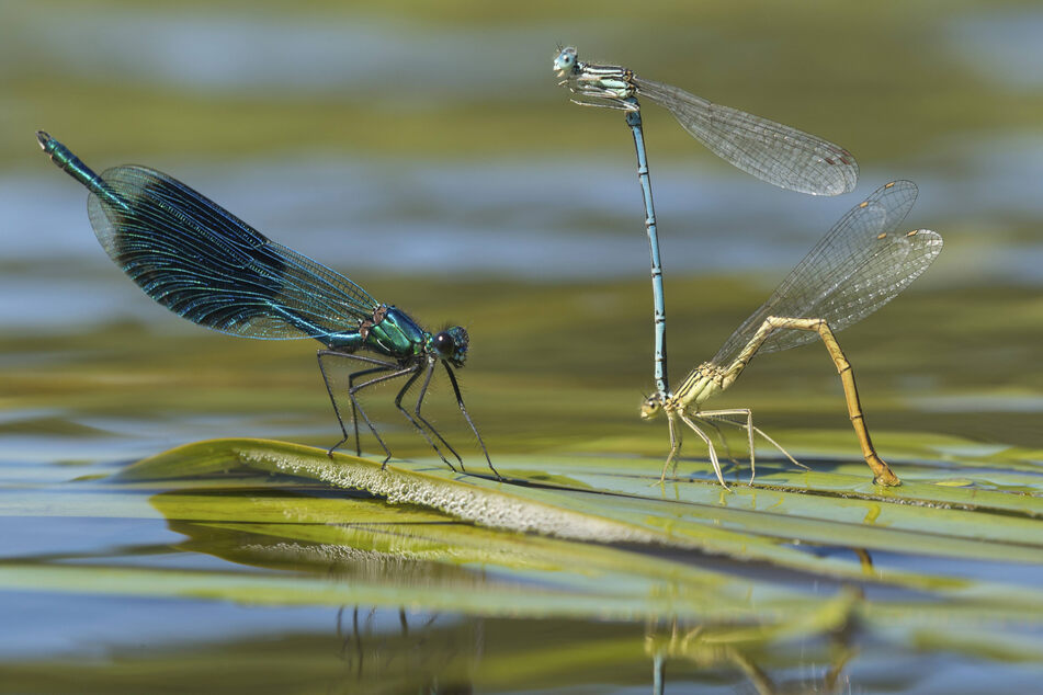 Fehlen an Gewässern empfindliche Insektenarten wie Libellen, könnte das Ökosystem bereits gestört sein.
