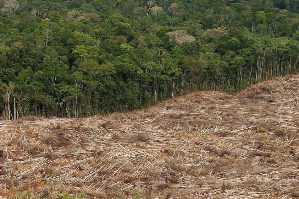 Etwa ein Fünftel der jährlichen Exporte von Soja und Rindfleisch aus Brasilien in die Europäische Union stehen in Zusammenhang mit illegaler Abholzung im Amazonas-Gebiet.