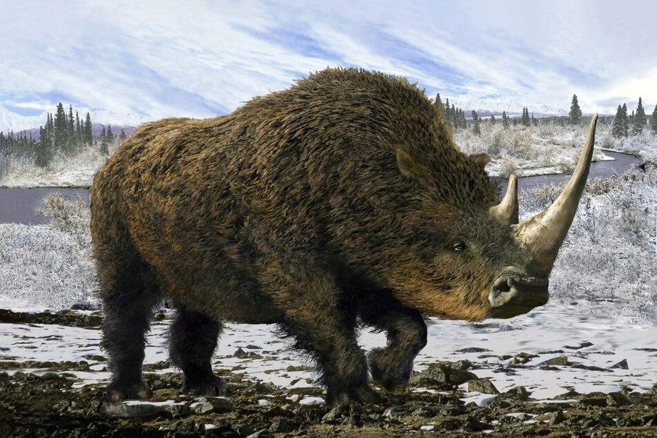 So soll das Wollnashorn - oder auch Coelodonta antiquitatis - ausgesehen haben.