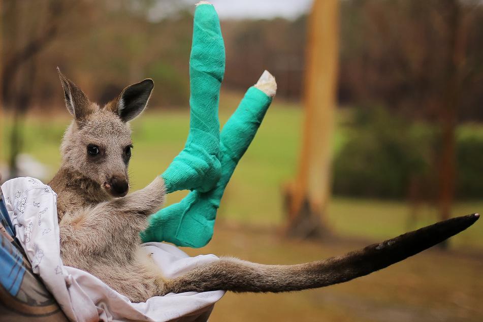 """Das kleine, verwaiste Östliche Graue Riesenkänguru """"Qantas"""", dessen Pfoten bei den Buschfeuern verbrannt wurden, wird in der Tierschutzorganisation Wires versorgt. (Archivbild)"""