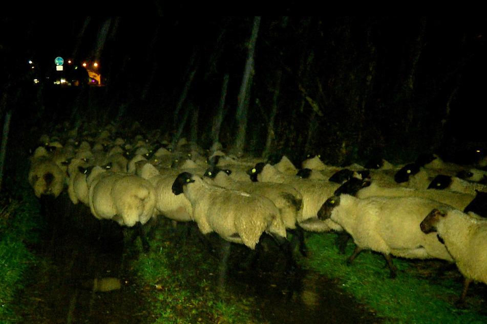 Nächtliche Rettungsaktion: Die Feuerwehr Ostritz rettete eine Schafherde.