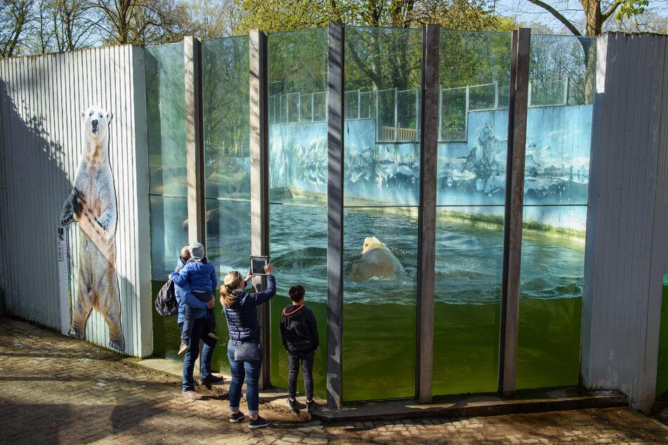 Auch der Eisbär im Tierpark Neumünster wird ab Montag wieder bestaunt werden können. (Archivbild)