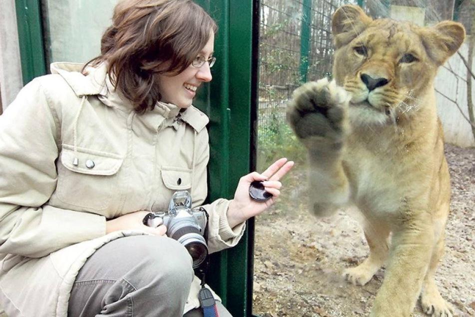 Kommt neue Löwin nach Kimbas Tod?
