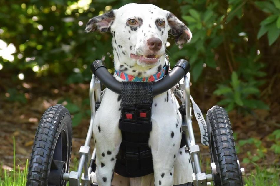 Um sich fortbewegen zu können, hat Dalmatiner Emma Roo einen speziellen Rollstuhl.