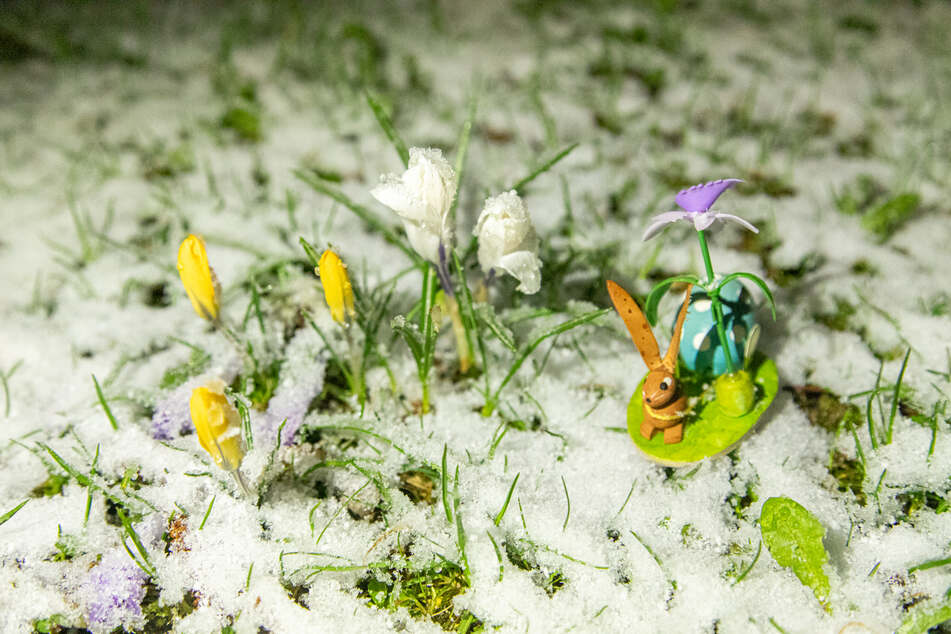 Die Frühblüher waren im Erzgebirge von einer leichten Schneedecke bedeckt.