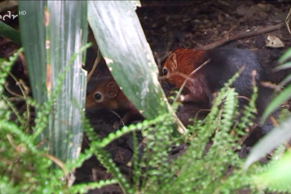 Im Unterholz wird sich intensiv ans Zeugen des Nachwuchses gemacht.