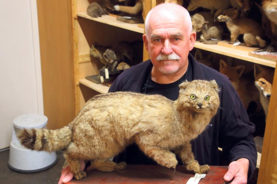 Nach über 200 Jahren: Sachsens letzte Wildkatze in Görlitz entdeckt
