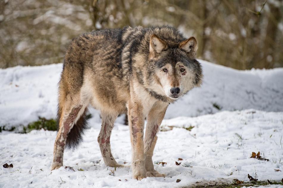 """""""Asslan"""" ist im Tierpark Hellabrunn als letzter """"Europäischer Wolf"""" eines Zoos gestorben. (Archiv)"""