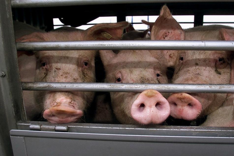 Tiertransporte in weit entfernte Länder werden untersagt