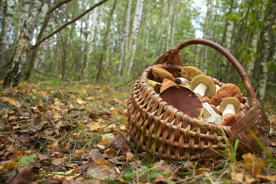 Ein Korb voller Pilze, doch sind auch wirklich alle genießbar? Wer sich nicht sicher ist, sollte einen Pilzberater kontaktieren.