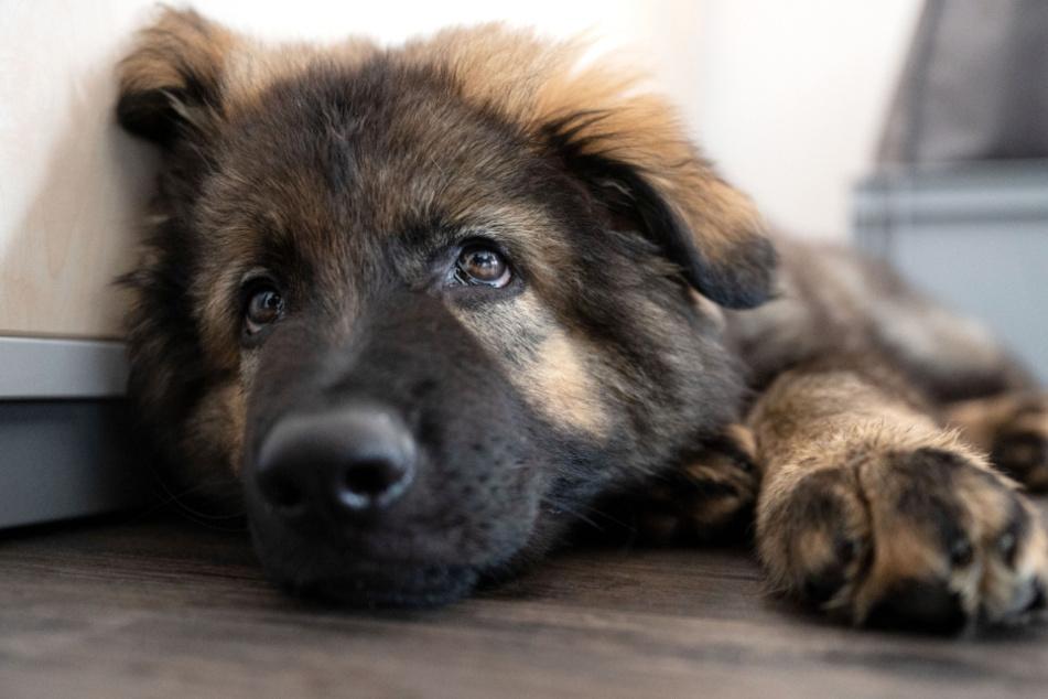 """Schäferhund-Welpe """"Al Capone"""" liegt in einem Büro der Bewährungshilfe Stuttgart e.V.. Therapiehund """"Al Capone"""" soll nach seiner Ausbildung vor allem im Umgang mit Gewalt- und Sexualstraftätern eingesetzt werden."""