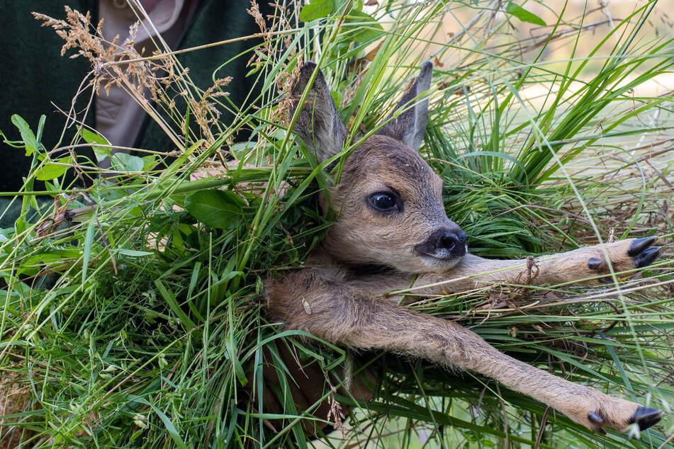 Versteckt im hohen Gras sind Rehkitze vor Tieren geschützt - aber hilflos gegen landwirtschaftliche Maschinen.