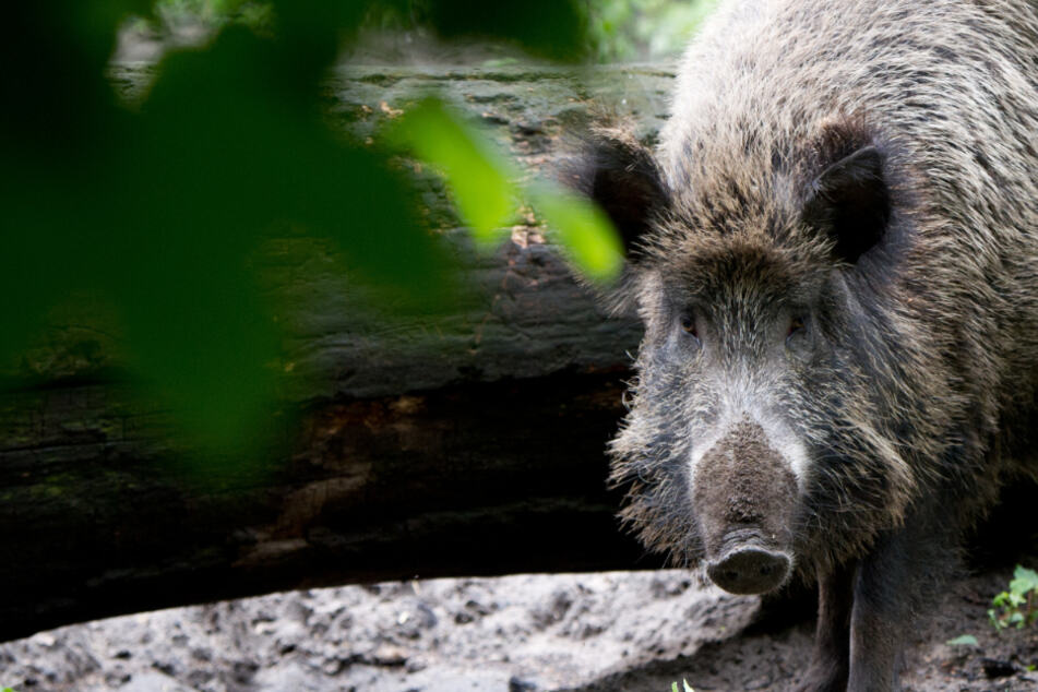 Kampf gegen Schweinepest: Jäger fordern mehr Unterstützung seitens der Politik