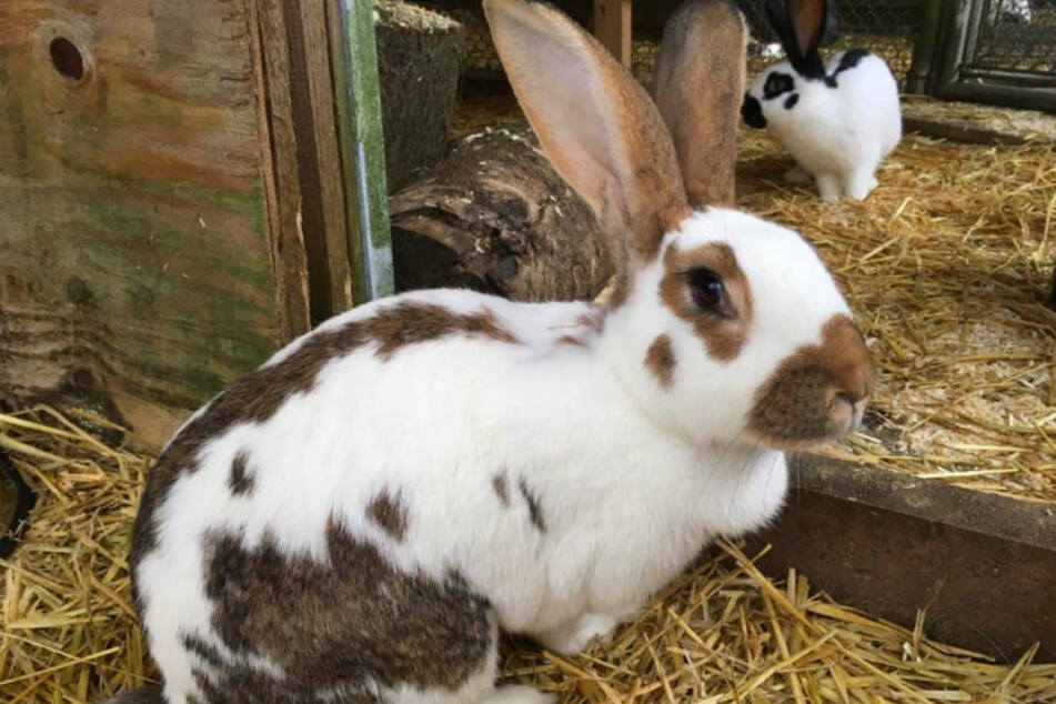 Kaninchen Moni.
