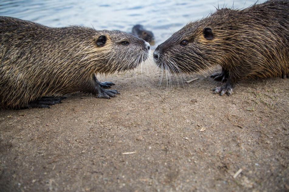 Von den Menschen am See lassen sich die Nager nicht stören.