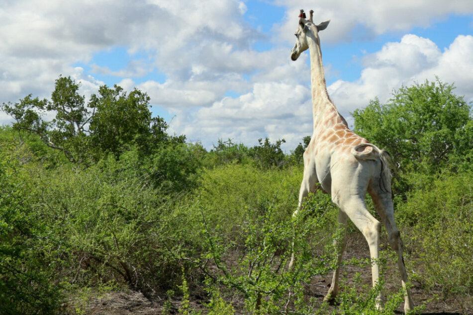 Diese Giraffe ist weltweit einzigartig, nun wird sie auf kuriose Art beschützt!