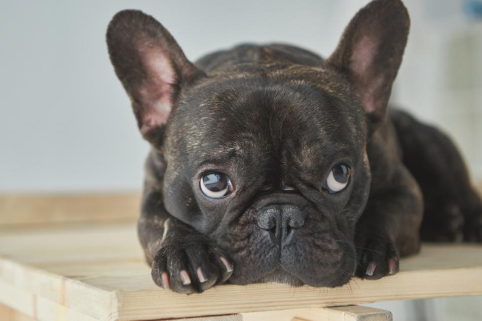 Die schwarze Bulldogge wächst in dem Video über sich hinaus. (Symbolbild)