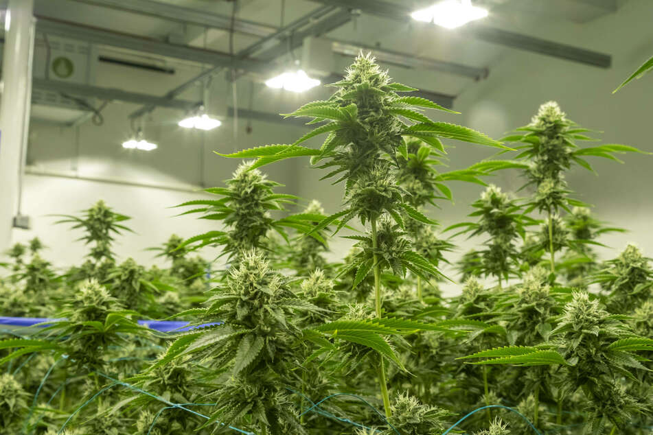 A cannabis growing facility at Viola Brands, Michigan.