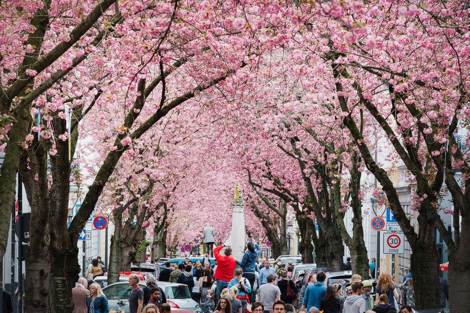 Die Kirschblüten in Bonn sind im Frühling ein Anziehungspunkt vieler Touristen. Wenn sie bald blühen, bleiben die Touristen wohl aus.