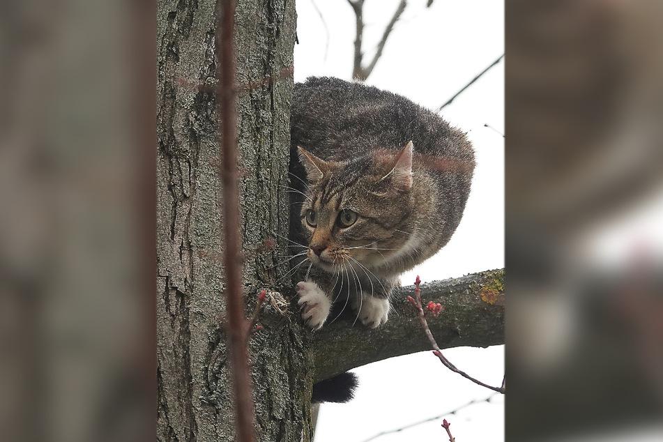 Völlig verängstigt! Eine Katze war am Sonntagmittag in etwa sechs Meter Höhe auf einem Baum gefangen.