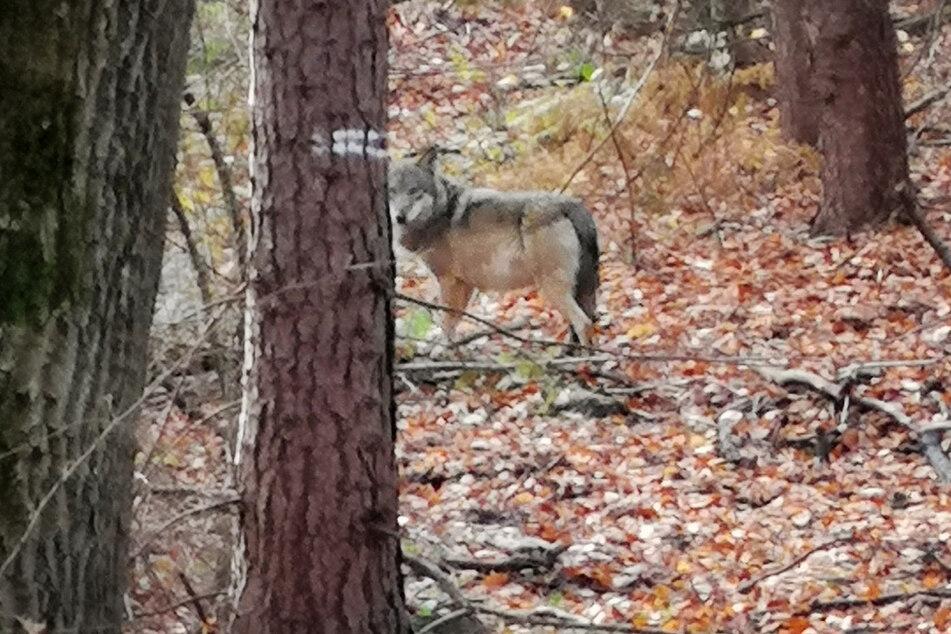 In Nordrhein-Westfalen und Rheinland-Pfalz sind mehrere Wölfe nachgewiesen worden. (Archivfoto)