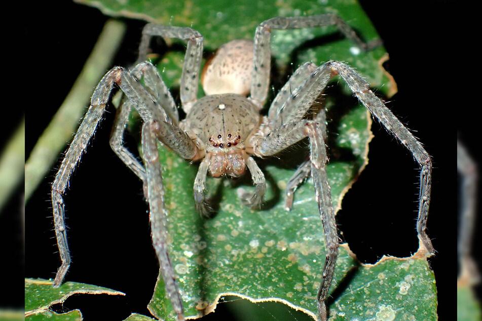 Eine männliche Spinne, die zu der neuen Spinnengattung Thunberga gehört.