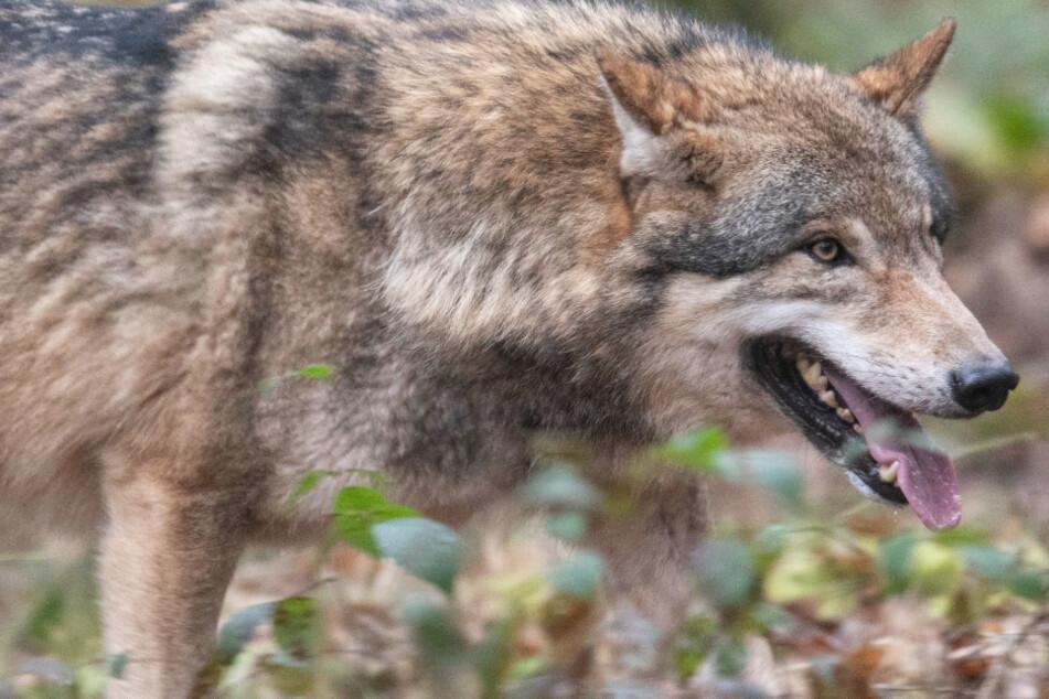Der Wolf erobert Hessen: Bereits zwei Tiere leben dauerhaft bei uns