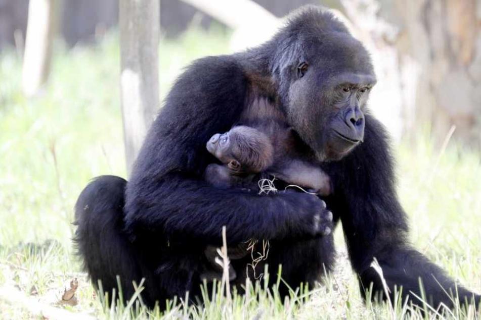 Gorillaweibchen Yene ist mit ihrem gut fünf Wochen alten Mädchen in der Außenanlage des Darwineums unterwegs.