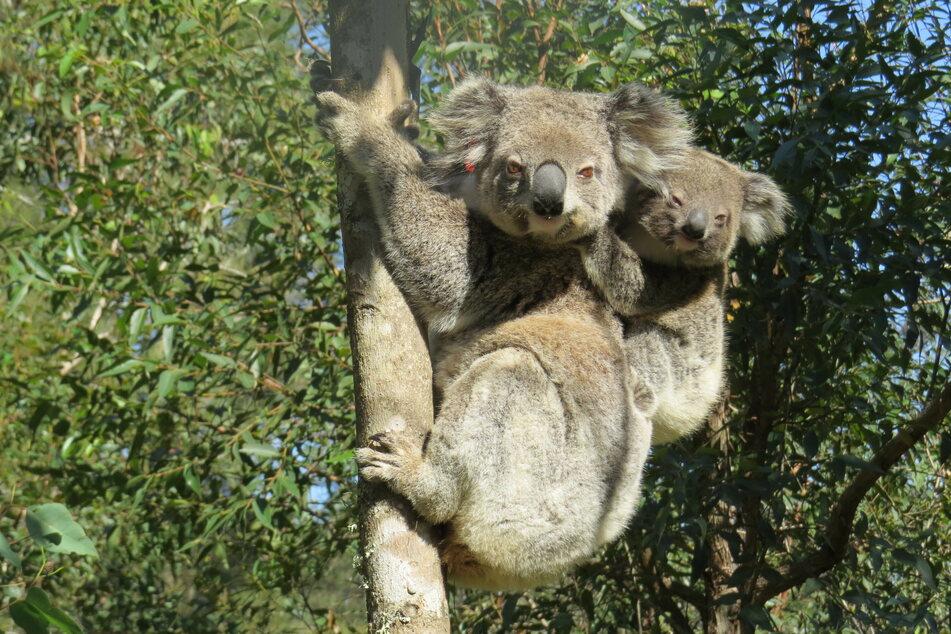Allein durch die Buschfeuer, die in den letzten Jahren in Australien gewütet haben, kamen Tausende Koalas ums Leben.